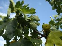 Cade da albero fichi in Irpinia, morto 72 enne