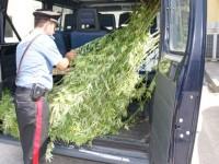 """Aveva sul balcone di casa, una piantagione di marijuana, arrestato un giovane dal """"pollice verde""""."""