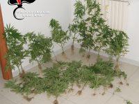 Carabinieri scoprono piantagione di marijuana.-