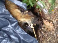 Cervinara. Via Quercino: abbandonata la carcassa di un cane.