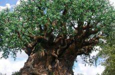 """""""Patriarchi Verdi"""", in Campania 89 alberi monumentali."""