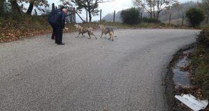 Pietrastornina: due cani scambiati per lupi
