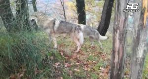 Pietrastornina: due esemplari di cane lupo cecoslovacco scambiati per lupi.