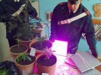 Montesarchio. Carabinieri denunciano un 29 enne pèer coltivazione di marijuana.